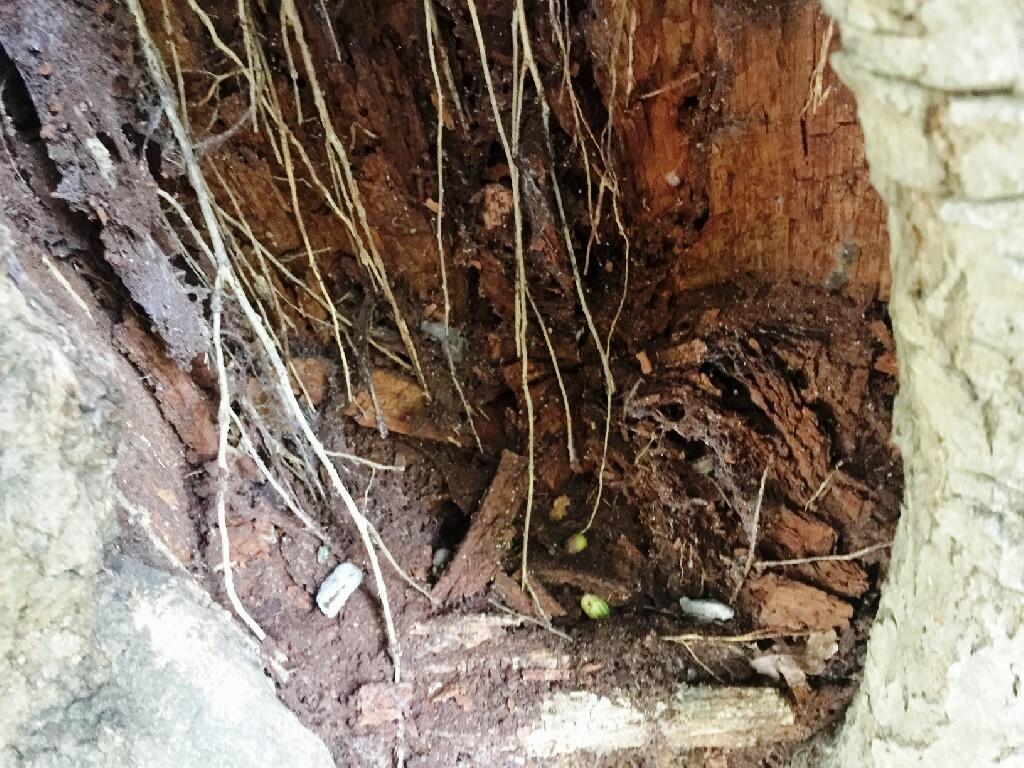 Adventitious-Roots-Ancient-Oak-2-2