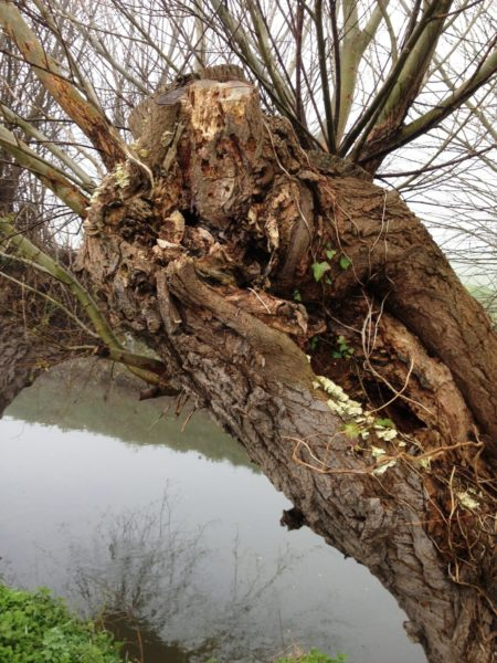 Willos-Pollard-Somerset-Levels-with-decay-at-cut
