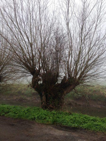 Willow-Pollard-Somerset-levels-2