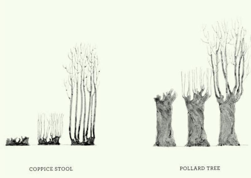 Coppice Pollard